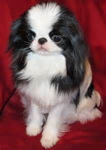 Japanese Chin Puppies By Anime Cuteanimepuppy Japanese Chin Dog