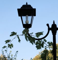 A grape vine has climbed right to the top of a lamp post. Its beautifully…