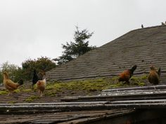 Banty chickens on the roof