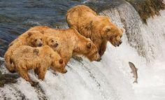 滝で狩りをする熊の群れ