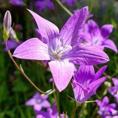 """Gefällt 95 Mal, 2 Kommentare - Helping Flowers (@helping_flowers_essenzen) auf Instagram: """"Die Glockenblumen blühen. Sie machen eine Blütenessenz für strahlungsempfindliche Menschen.…"""" Flowers, Plants, Instagram, People, Plant, Royal Icing Flowers, Flower, Florals, Floral"""