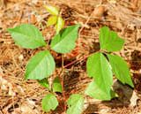 """Picture of poison ivy. Click """"More Images"""" to access the mini-photo gallery."""