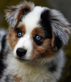 Berger Australien Bleu Merle.... oooh my God je veux un chien comme ça un jour !!