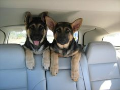 samson and bella do this all the time!