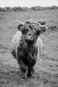 Scottish Highland Cow, Highland Cow Print, Highland Cattle, Highland Cow Tattoo, Cute Baby Cow, Baby Cows, Cute Cows, Fluffy Cows, Fluffy Animals