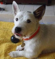 Westie x Jack Russell. so cute! Chien Jack Russel, Jack Russell Mix, Jack Russell Terrier, Cute Puppies, Cute Dogs, Dogs And Puppies, Cute Animal Pictures, Dog Pictures, Terrier Mix