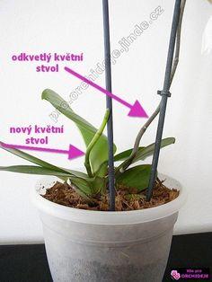 odkvetlý a nový květní stvol - detail Planting Succulents, House Plants, Diy And Crafts, Flora, Home And Garden, Herbs, Gardening, Health, Green
