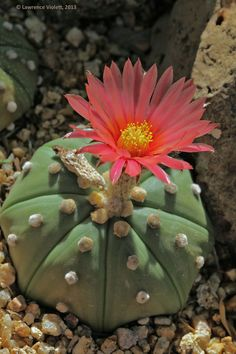 Astrophytum asterias 'nudum', cultivated, with red flower.