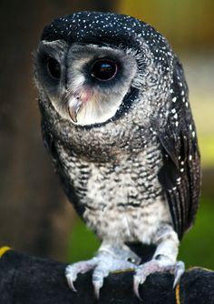 ~ Lesser Sooty Owl ~  (Tyto multipunctata), lives in the wet tropics region of Australia. It is considered a subspecies of the Sooty Owl.