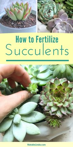 Succulents: Doing it the Right Way for Optimum Results Learn how to fertilize your succulents and when and what to use!Learn how to fertilize your succulents and when and what to use! Growing Succulents, Cacti And Succulents, Growing Plants, Planting Succulents, Cactus Plants, Garden Plants, Planting Flowers, House Plants, Air Plants