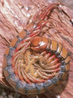 Giant Centipede.  Absolutely nasty creature.