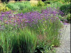 Verbena-bonariensis- sporýš argentinský - butterflies loves it Crocosmia, Gravel Garden, Purple Garden, Hardy Plants, Media Images, Tiny Flowers, Front Entry, Dream Garden, Perennials