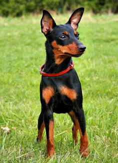 ⏪ Miniature Pinscher ⏩ small breed of dog, originating from Germany.  The miniature pinscher is an assertive, outgoing, active and independent breed. They are good watch dogs, are alert and wary of strangers. Miniature pinschers are an active breed and will need access to a fenced yard, or be given a daily walk.