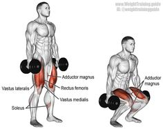 Dumbbell squat. A major compound exercise. Target muscles: Gluteus Maximus and Quadriceps. Synergists: Adductor Magnus and Soleus. Dynamic stabilizers (not highlighted): Hamstrings and Gastrocnemius. Stabilizers (not highlighted): Erector Spinae, Levator Scapulae, Middle and Lower Trapezius, Rectus Abdominis, and Obliques. Note: I only highlight targets and synergists.