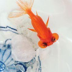 """【goldfish_angel33】さんのInstagramをピンしています。 《""""Pudding"""" went to my friend's house. 昨日、友人が遊びに来たのですが、私の金魚たちを見て狂喜乱舞、可愛い!水族館みたいだ〜と😆 元々金魚が好きだったそうで、中でもプリンちゃんをいたく気に入り、小さいしどんぶりで飼いたいとのこと。 元々よこいちさんで丼にいた子なので、なかなか買いに行くチャンスもないらしく、友人にプリンちゃんを育ててもらうことになりました。 ミラクルバクテを渡し、飼育のあれこれを教えて、写真のような可愛いお家に移り住んだようです(*゚∀゚*)私は寂しかったけれど、少しでも金魚好きな人が増えてくれると嬉しいなと思います😊 プリンちゃん可愛がってもらうんだよ✨ #金魚 #水槽 #アクアリウム #goldfish #goldfishunion #goldfishtank #aquarium #goldfishofinstagram #watertank #goldfishlover #instagoldfish #goldfishinstagram…"""