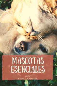Gatos, perros, caballos y hasta peces pueden beneficiarse de la #aromaterapia #youngliving #animalscents #sinergias #aceitesesenciales #saludalternativa #mascotas Pets 3, Young Living, Blog, Movie Posters, Essential Oils Dogs, Human Babies, Geranium Essential Oil, Distilled Water, Aroma Diffuser