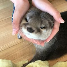 I have to get an Otter! Cute Funny Animals, Cute Baby Animals, Animals And Pets, Otters Cute, Baby Otters, Otter Love, Cute Creatures, Fauna, Spirit Animal