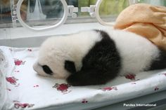 It's that time of year again! The panda centers are prepping for babies.