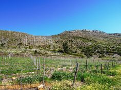 Steenberg #Vineyard South Africa, Vineyard, Mountains, Nature, Travel, Outdoor, Viajes, Outdoors, Naturaleza