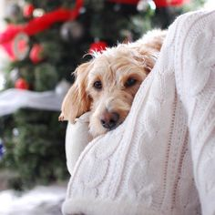 @Ourhumbleaboden cute pooch has the right idea for this Sunday! Snuggle under a cozy cable knit and watch the twinkle lights on the tree!  #mypotterybarn #chilltime by potterybarn