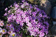 Ogrodnictwo od A do Z : Floks szydlasty- Phlox subulata