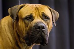 Boerboel | These Are The 7 New Breeds Competing At The Westminster Dog Show - BuzzFeed News