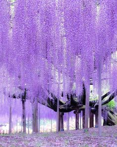 あしかがフラワーパーク Wisteria Flowers Vine Silk Flower Wedding Garden Hanging Decor & Garden Ashikaga Flower Park by Noe Arai