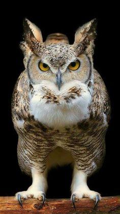 This looks like a great horned owl in this bird photo, but I'm not sure.