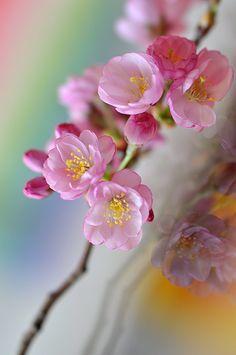 gardenofgod:  Cherry Blossoms, by Slava Dahlhoff.