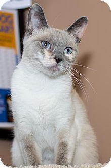 Philadelphia, PA - Siamese. Meet Coral, a cat for adoption. http://www.adoptapet.com/pet/13687343-philadelphia-pennsylvania-cat