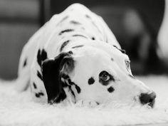 Dalmatian Dogs | Kumpulan Ikan 2000: Dalmatian Wallpapers