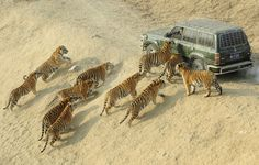 Is your vehicle tiger proof? Shows you how big these cats are!