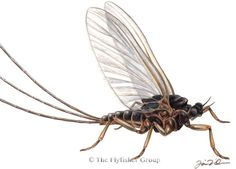 Mayfly: Trico (Adult)