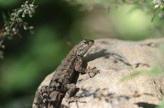 Common Sagebrush Lizard   Flickr - Photo Sharing!