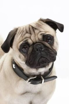 Photographic Print: Pug, Collar, Portrait, Studio by Hawi : French Bulldog Puppies, Pug Puppies, Pug Quotes, Baby Pugs, What Dogs, Pug Pictures, Cute Pugs, Pug Love, Dog Photography