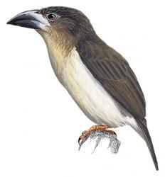 Malay Brown Barbet (Caloramphus hayii) (Formerly included in Caloramphus fuliginosus)