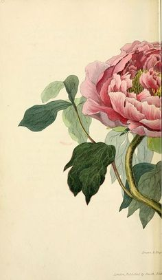 Flora Conspicua | Longman, Rees, Orme, Brown, and Green | 1826 | London