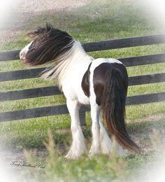 Django, gypsy vanner draft horse stallion