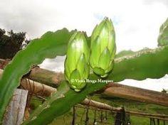 Os botões florais da Pitaya são formados pouco antes da antese, apresentando um rápido desenvolvimento (em torno de três semanas).