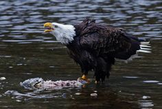 Hungry eagles by the hundreds descend onto Skagit River | The Seattle Times
