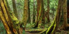 Wild Nootka - Temperate rain forest on the coastline of Nootka Island. Old growth forest on the west coast of British Columbia sure has a wild feel to it. A bit of a tangled mess but I am happy with the results.