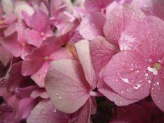 hortensia in de achtertuin (6) Rose, Flowers, Plants, Floral, Roses, Plant, Royal Icing Flowers, Florals, Flower