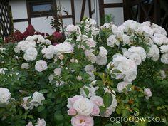 Ogród prawie romantyczny - strona 492 - Forum ogrodnicze - Ogrodowisko