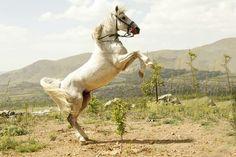 Kurdish horse