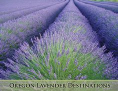 Oregon has long been a Lavender pioneer, and the variety and breadth of the lavender based industries - from nurseries to farms to craftsmen - located here reflects that long tradition.