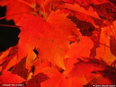 Potato Harvest, Bald Faced Hornets, and Early Fall Colors | Stormy Pleasures Beautiful Red Maple foliage during Autumn in Michigan!