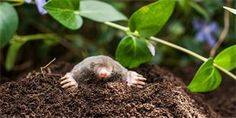 Are there mole tunnels in your yard? Here are tips to help with mole control, from facts about food sources to pros and cons about mole traps and repellents. Organic Farming, Organic Gardening, Gardening Tips, Moles In Yard, Mole Repellent, Insect Repellent, Taupe, Japanese Beetles, Gardens