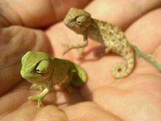Baby Chameleon. I WANT I WANT I WANT!!!!