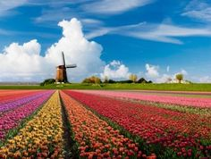 Holland, tulip fields - gorgeous!