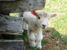 I will never understand how thinking, feeling human beings can eat lamb. There is a real disconnect with where meat comes from.